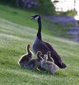 picture of mother goose  - Mother - JPG