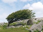 foto of hurricane wind  - A tree on bodmin Moor showing the effect of the prevailing wind - JPG