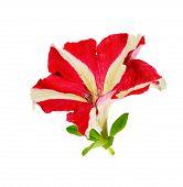 Flower Of Petunia