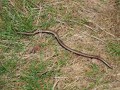 stock photo of worm  - Slow Worm  - JPG