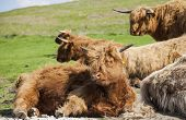 image of highland-cattle  - Grazing Highland cattle in North York Moors National Park - JPG