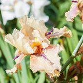 foto of purple iris  - beautiful flower iris closeup - JPG