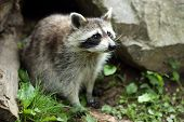 stock photo of raccoon  - Details of a raccoon in captivity the raccoon is sitting on grass - JPG