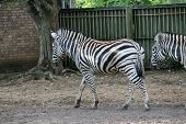 stock photo of camoflage  - Striped Black and white zebra at zoo - JPG