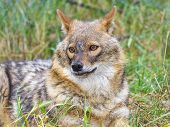 picture of jackal  - European golden jackal  - JPG