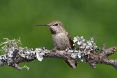 pic of hummingbirds  - Annas Hummingbird  - JPG