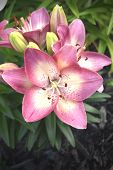 picture of asiatic lily  - A lovely blooming pink and white Asiatic lily commonly referred to as  - JPG