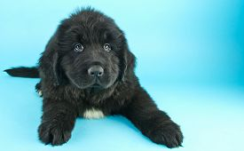 image of newfoundland puppy  - Very cute Newfoundland puppy laying on a blue background with a sweet look on his face with copy space - JPG