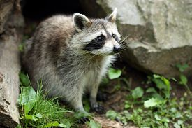 picture of omnivore  - Details of a raccoon in captivity the raccoon is sitting on grass - JPG