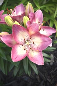 stock photo of asiatic lily  - A lovely blooming pink and white Asiatic lily commonly referred to as  - JPG