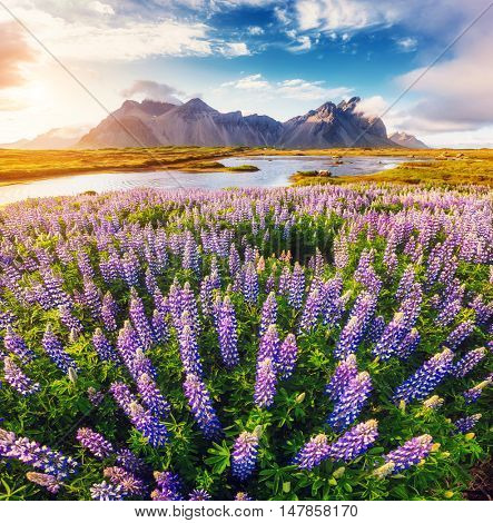 Great view of lupine flowers