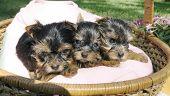 Three Yorkie Puppies