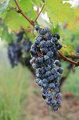 Cabernet Grape