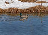 Wild Duck And Auks