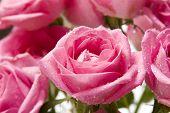 Pink Rose Close-Up 5