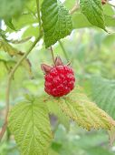 Berry Of A Raspberry