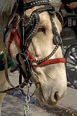 picture of blinders  - Side view of a work horse in New Orleans - JPG