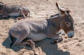 stock photo of headstrong  - brown donkey lying on the sand and sawdust - JPG