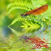 Macro damselfly on fern above water