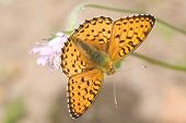 small orange butterfly on pink flower