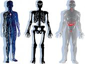 illustration with human skeleton, nervous and muscular system