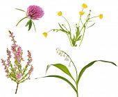 colección de cuatro flores de bosque salvaje, aislado sobre fondo blanco