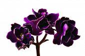 Постер, плакат: макро фотография темный фиолетовый изолированных цветок