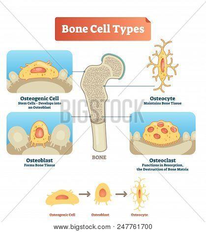 Vector Illustration Of Human Bone
