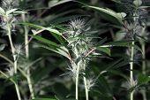 female marijuana flower extreme close up. Macro view of marijuana.  cannabis trichomes macro photo o poster