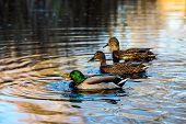 One Drake Duck And Two Female Mallard Ducks Swim In A Lake In South Park, Sofia, Bulgaria In The Gol poster