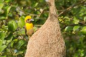Male Baya Weaver Bird