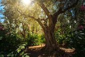 Olive Trees In Gethsemane Garden, Jerusalem poster
