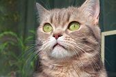 Close Up Of British Marmoreal Cat