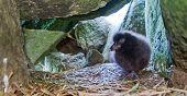 puffin chick (Fratercula) 2