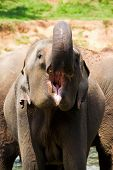 Elephant With Open Mouth