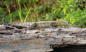 Lizard In Africa