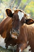 Big brown cow lying on a meadow and stares at the camera (focus on her nose)
