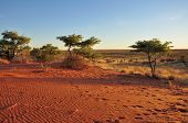 red sands and bush at sunset, kalahari