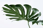 Many White Different Tropical Texture Green Leaves Pattern Background Natural Fine Art Postcard Fres poster