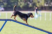 Funny Dog Descending On Dog Walk Obstacle In Agility Trial poster