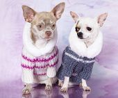 Portrait of dogs chihuahua,  dressed up in front of white background