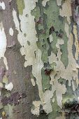 Bark Of The Platan Tree. Texture