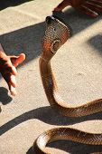 picture of king cobra  - A picture of king cobra snake ready for rapid strike - JPG
