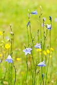 stock photo of harebell  - Blue harebell wild flowers growing in a field - JPG