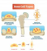 Vector Illustration Of Human Bone Cell Types. Scheme Of Osteogenic Cell, Osteoblast And Osteocyte. M poster