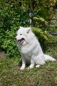 Samoyed Is Sitting On A Green Meadow. Sledge Dog Or Nenetskaya Laika. Pet Animals. poster