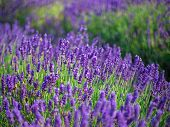 Lavender Bushes Closeup On Sunset. Sunset Gleam Over Purple Flowers Of Lavender. Bushes On The Cente poster