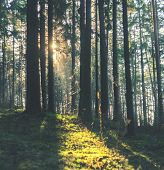 Sunbeams Make Their Way Through Tree Trunks In The Morning Forest. Spruce Tree Forest, Sunbeams Thro poster