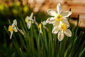 Blooming Narcissus Daffodils. Flower Bed Jonquils With Blurred Bokeh Background. Inspirational Natur poster