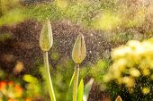 Flower Tulip Start To Bloom Buds. Inspirational Natural Floral Spring Or Summer Blooming Garden Or P poster